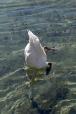 swan diving